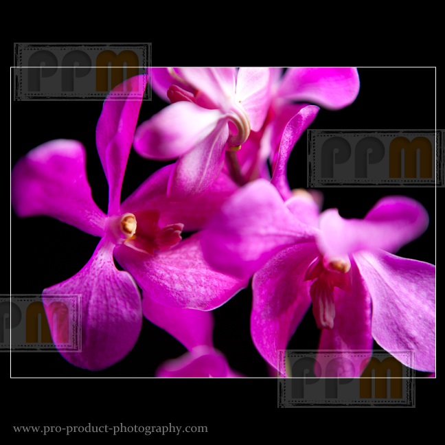 Still life flower photography for Australia In Bloom